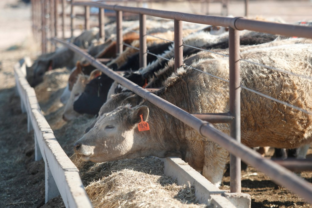 Tim Black's cattle eat feed on his Muleshoe, Texas, farm on Monday, April 19, 2021, because the pasture is not yet tall enough to turn them out.