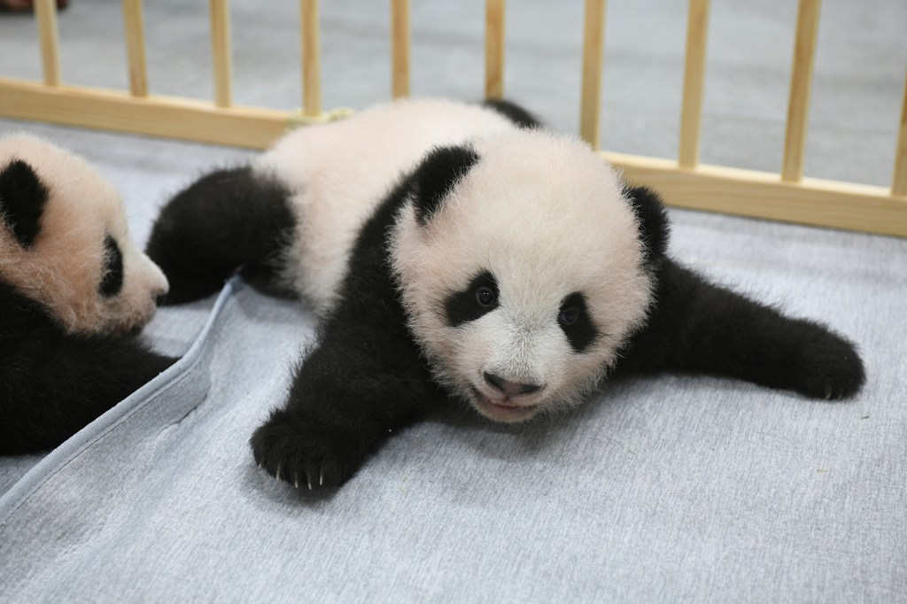 This photo released by Tokyo Zoological Park Society shows giant panda twins, male Xiao Xiao, right, and female Lei Lei, 103 days after they were born at Ueno Zoo in Tokyo Monday, Oct. 4, 2021.