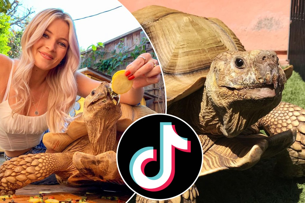 """Tiptoe, a hugely popular tortoise is taking TikTok by storm. The exotic pet is slow-moving, but his account, """"Caitlin and Tiptoe,"""" quickly grew to 3.9 million followers."""