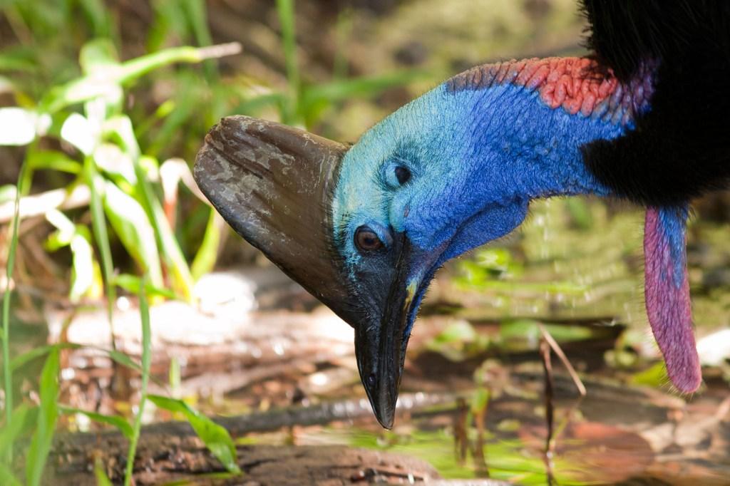 cassowary-study