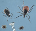 ticks new york state integrated pest management - 360×315