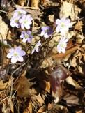 Hepatica triloba. Photo by J. Lundgren, NYNHP.