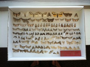 These are some of the moths found in hemlock forests in the Finger Lakes State Parks. The top row shows some of the ornately patterned tiger moths. Photo by J. Lundgren, NYNHP