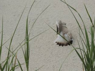 Piping plover broken wing display. Photo by Kim Rondinella.