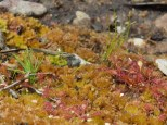 Pitch pine seedling growing next to sundews on recovering wetland. Photo by Lindsey Feinberg