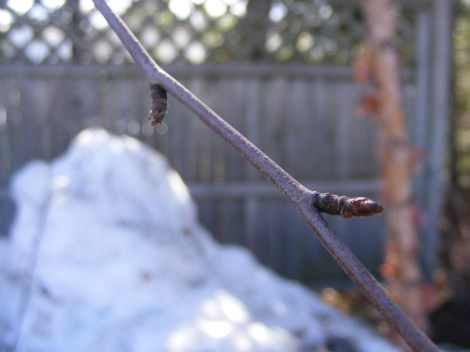 Birch buds, photo by S. Carver, State Parks