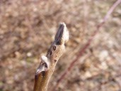 Black walnut buds, Photo by S. Carver, State Parks