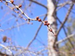 Tamarac buds, photo by S. Carver, State Parks