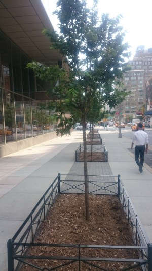 Trees planted near the heart of New York City. A long strip of structural soil as well as iron tree guards and good mulching practice should provide for some very healthy urban trees.
