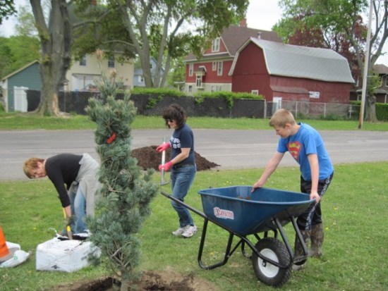 Planting a Japanese white pine in Perry's Village Park