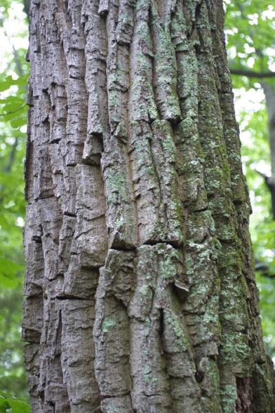 chestnut-oak-trunk-steven-j-baskauf