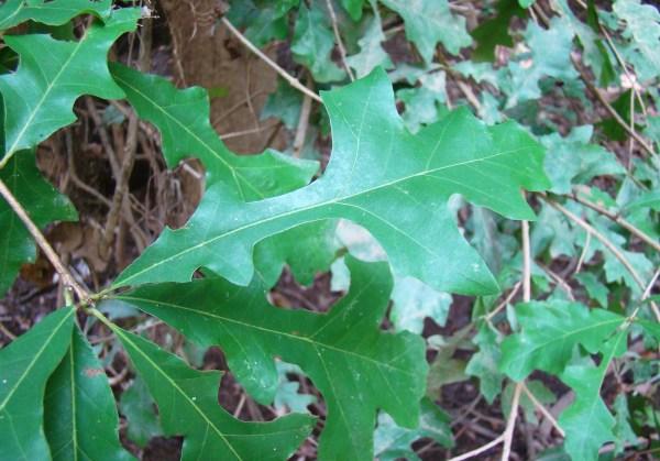 Quercus lyrata Rebekah D. Wallace, University of Georgia, Bugwood.org