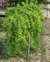 CARAGANA-arborescens-Pendula-2