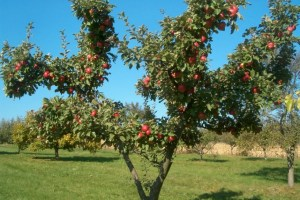 Gyümölcsfák régi fajták