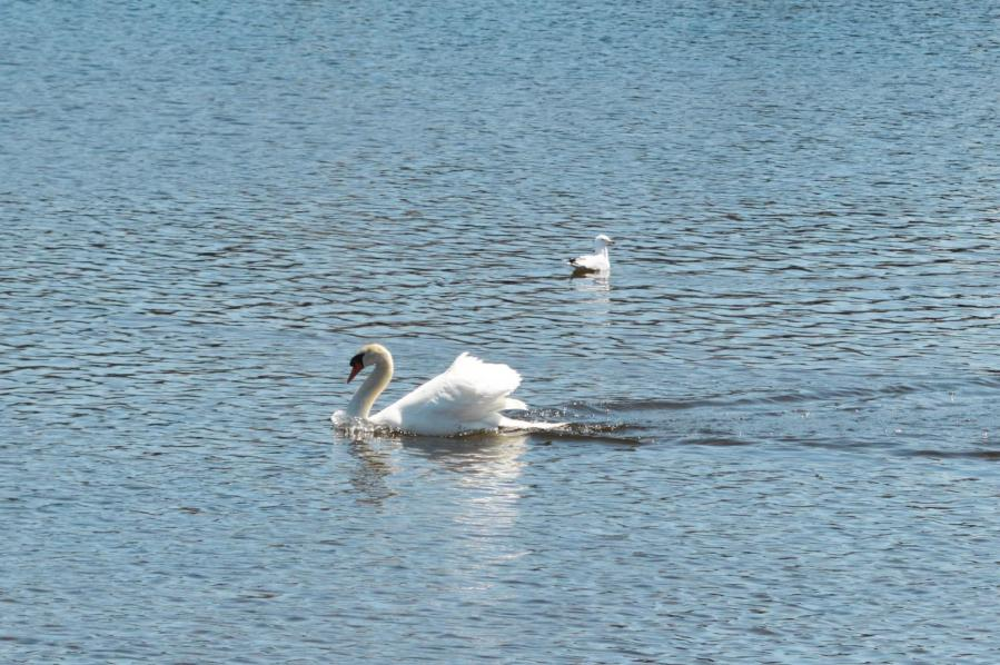 A swan on Saugatuck River in Westport, Connecticut.