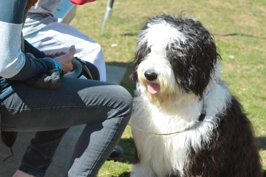 A sheepdog at the Maker Faire in Westport, Connecticut.