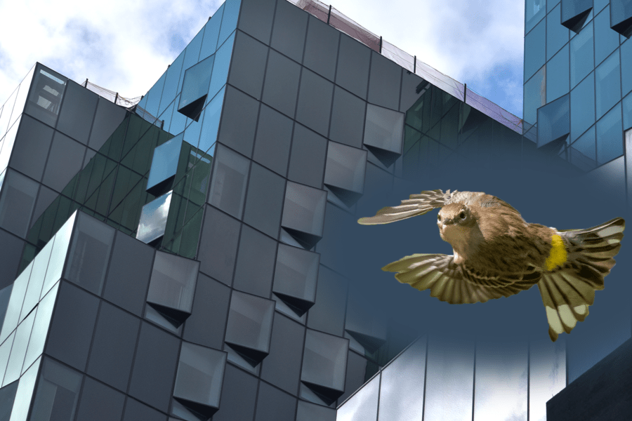 181 Mercer St., NYU's new building, is being built with speciality glass windows which reduces energy usage and helps to prevent bird collisions. An estimated 230,000 birds in New York City die every year from these collisions. (Staff Photo and Illustration by Ryan Kawahara)