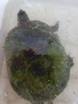 Another road-hit turtle came in on the 22nd. This fellow will take some special care, but should be fine.