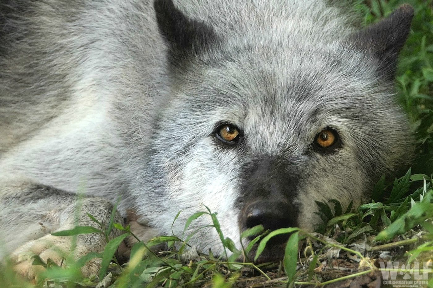 Washington State Wildlife Officials Order Killing of Entire Wolf Family to Protect Cows
