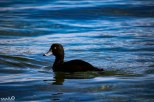 A black variety of duck I believe is called a scaup.