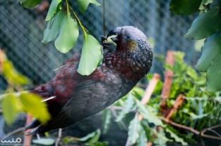 New Zealand kaka (parrot) being cheeky.