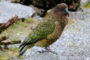 This is a kea parrot in the Otira Viaduct (in Arthur's Pass). Keas are an alpine parrot -- we think the only of its kind in the world, and they are very curious and come right up to your vehicle. We've heard they like the rubber on the window sills. It makes it a tad inconvenient when you are trying to drive away and they try to hop under your car!