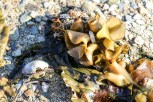Lots of sealife was washed up on the shores of Picton, including shells, kelp, seaweed, jellyfish...