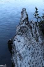 An old log on Lake Rotopounamu