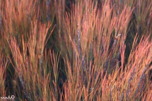 The grass was a nice reddish-orange with hints of yellow and green