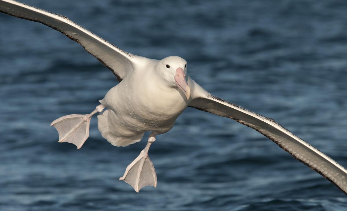https://i1.wp.com/nzbirdsonline.org.nz/sites/all/files/1200126Southern_Royal_Albatross_20130105_Kaikoura_NZ_05.jpg