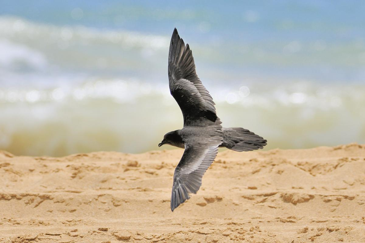 Image result for bulwer's petrel in flight