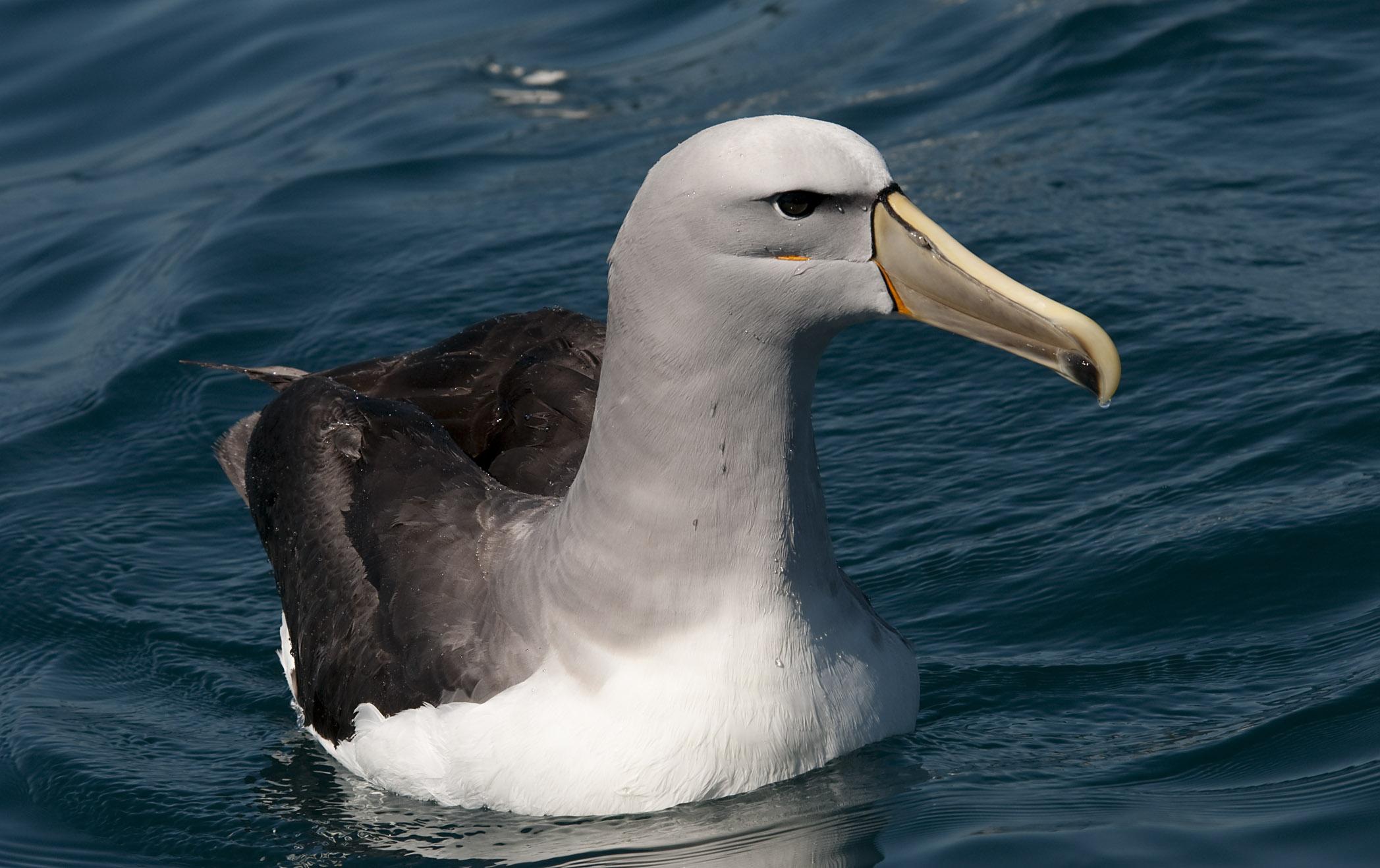 http://nzbirdsonline.org.nz/sites/all/files/Salvin's_Albatross_20110125_Kaikoura_NZ_3.jpg