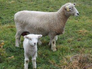 14aug canterbury lamb2