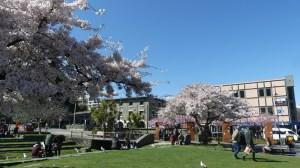 クイーンズタウンビレッジグリーンの桜9月20日