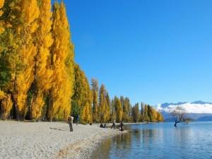 ワナカ湖畔の黄葉とワナカツリー