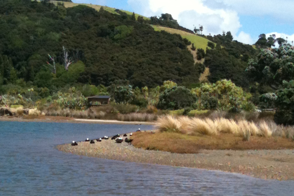 tawharanui lake birds nesting