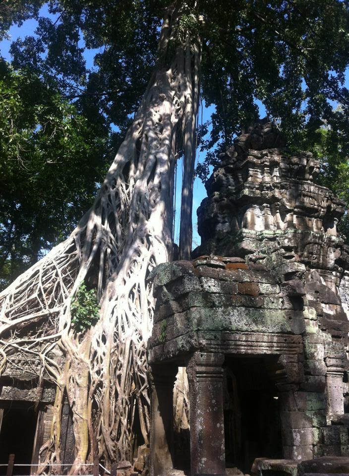 ta phrom jungle tree temple