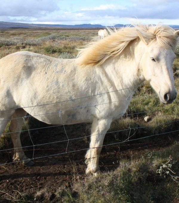 Iceland mini horses at golden circle gullfoss