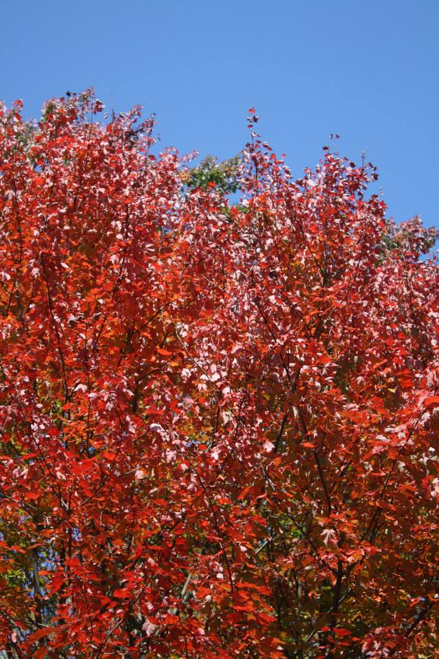 Massachussetts fall colours - Blood red fall leaves, when New England turns crimson