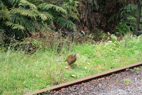 Weka birds at Shantytown