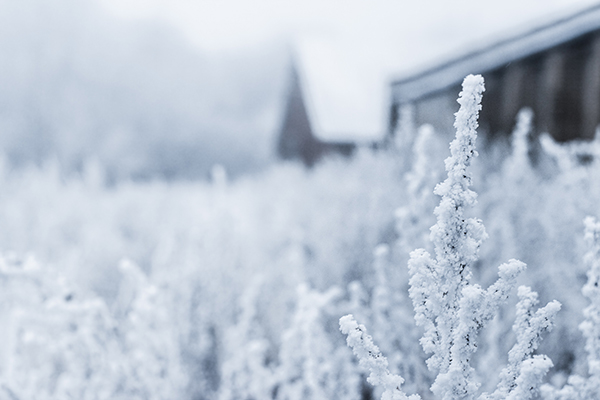Snowy plants close up in field