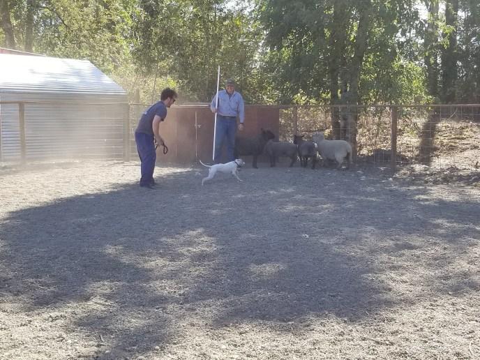 italian greyhound1