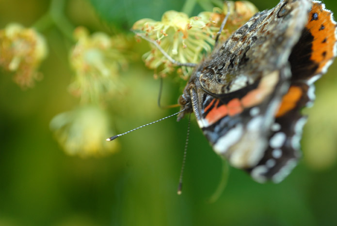 vlinder op lindebloesem