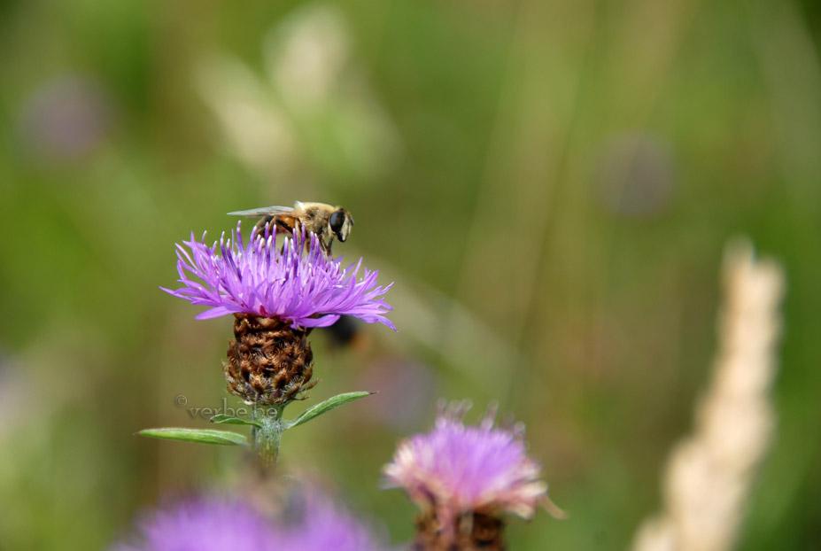 Honingbij op distel