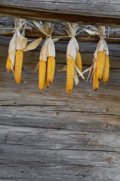 Maïs drogend onder afdak