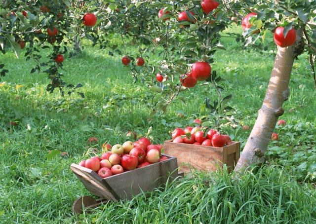 Appels in boomgaard