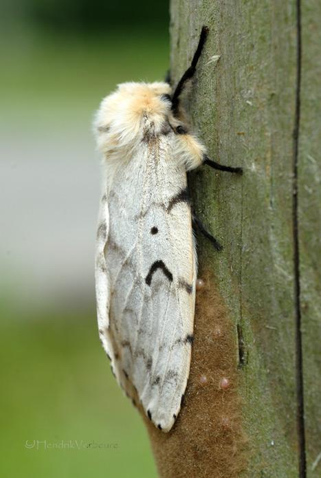 Witte tijger vlinder