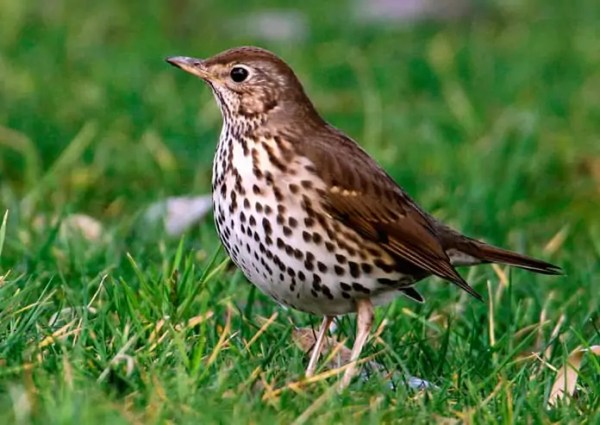 ᐈ Птица Дрозд: [описание и фото] самец и самка, как ...