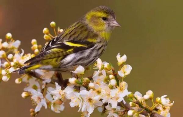 ᐈ Птица Чиж: [фото и описание] самец и самка, как выглядит ...