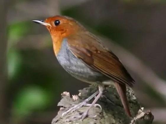 У этой птицы белое брюхо, рыжий лоб, горло, грудь и бока головы. Зарянка (Erithacus rubecula): виды, самец и самка, фото